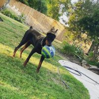 Doberman Pinscher Puppies for sale in Fresno, CA, USA. price: NA