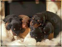Doberman Pinscher Puppies for sale in Crestview, FL, USA. price: NA