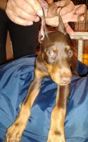 Doberman Pinscher Puppies for sale in Dix Hills, NY, USA. price: NA