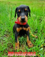 Doberman Pinscher Puppies for sale in Jacksonville, TX 75766, USA. price: NA