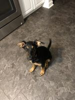 Doberman Pinscher Puppies Photos