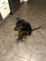 Doberman Pinscher Puppies for sale in Washington, MI 48094, USA. price: NA
