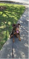 Doberman Pinscher Puppies for sale in Clayton, NC 27527, USA. price: NA