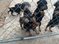 Doberman Pinscher Puppies for sale in San Diego, CA, USA. price: NA