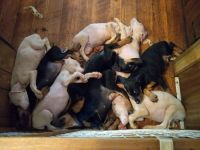 Doberman Pinscher Puppies for sale in Danville, PA 17821, USA. price: NA