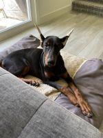 Doberman Pinscher Puppies for sale in Dublin, CA 94568, USA. price: NA