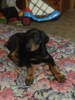 Doberman Pinscher Puppies for sale in New Houlka, MS 38850, USA. price: NA