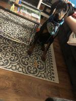 Doberman Pinscher Puppies for sale in Woodbridge, VA 22191, USA. price: NA