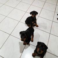 Doberman Pinscher Puppies for sale in San Pablo, CA, USA. price: NA