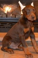 Doberman Pinscher Puppies for sale in Lawrenceville, GA, USA. price: NA