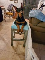 Doberman Pinscher Puppies for sale in Edenton, NC 27932, USA. price: NA