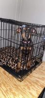 Doberman Pinscher Puppies for sale in 113 Melissa Ln, Clinton, TN 37716, USA. price: NA