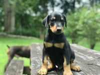 Doberman Pinscher Puppies for sale in Bakersville, NC 28705, USA. price: NA