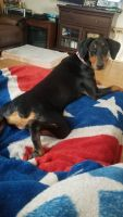 Doberman Pinscher Puppies for sale in Mesquite, TX, USA. price: NA