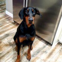 Doberman Pinscher Puppies for sale in Bella Nova Dr, Orlando, FL 32820, USA. price: NA