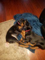 Doberman Pinscher Puppies for sale in Lake Stevens, WA 98258, USA. price: NA