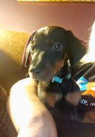 Doberman Pinscher Puppies for sale in Bay City, MI 48708, USA. price: NA