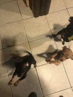 Doberman Pinscher Puppies for sale in Elizabeth, NJ, USA. price: NA