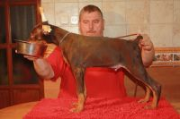 Doberman Pinscher Puppies for sale in Orlando, FL, USA. price: NA