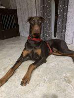 Doberman Pinscher Puppies for sale in Port St. Lucie, FL, USA. price: NA