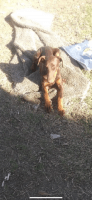Doberman Pinscher Puppies for sale in Bakersfield, CA, USA. price: NA