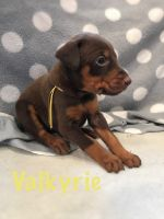 Doberman Pinscher Puppies for sale in Lafayette, IN, USA. price: NA