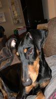 Doberman Pinscher Puppies for sale in Reynoldsburg, OH, USA. price: NA
