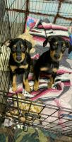 Doberman Pinscher Puppies for sale in Ontario, OR 97914, USA. price: NA