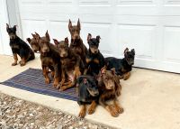 Doberman Pinscher Puppies for sale in Little Rock, AR, USA. price: NA