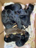 Doberman Pinscher Puppies for sale in San Bernardino, CA 92404, USA. price: NA