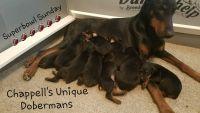Doberman Pinscher Puppies for sale in Rockingham, NC 28379, USA. price: NA