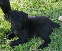 Doberman Pinscher Puppies for sale in Aransas Pass, TX, USA. price: NA