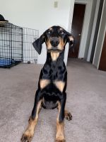 Doberman Pinscher Puppies for sale in Bloomington, IN, USA. price: NA
