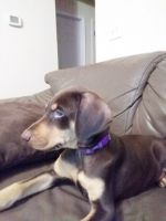 Doberman Pinscher Puppies for sale in Columbia, SC, USA. price: NA