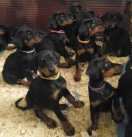 Doberman Pinscher Puppies for sale in Chicago, IL, USA. price: NA