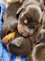 Doberman Pinscher Puppies for sale in Queen Creek, AZ, USA. price: NA