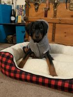 Doberman Pinscher Puppies for sale in Everett, WA, USA. price: NA
