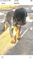 Doberman Pinscher Puppies for sale in San Bernardino, CA, USA. price: NA