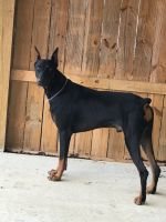 Doberman Pinscher Puppies for sale in Tipton, MO 65081, USA. price: NA