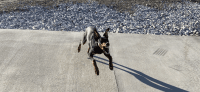 Doberman Pinscher Puppies for sale in Bluegrass Rd, Springfield, MO, USA. price: NA