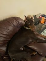Doberman Pinscher Puppies for sale in Columbus, OH, USA. price: NA