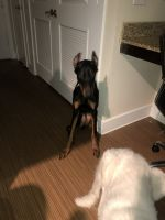Doberman Pinscher Puppies for sale in Dallas, TX 75240, USA. price: NA