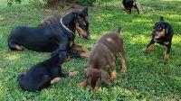 Doberman Pinscher Puppies for sale in Myakka City, FL 34251, USA. price: NA