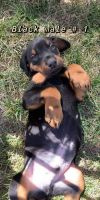 Doberman Pinscher Puppies for sale in Lawrence, NE 68957, USA. price: NA