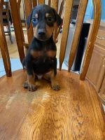 Doberman Pinscher Puppies for sale in Finlayson, MN 55735, USA. price: NA