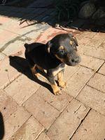Doberman Pinscher Puppies for sale in 17294 Redmaple St, Fontana, CA 92337, USA. price: NA