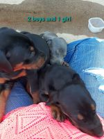 Doberman Pinscher Puppies for sale in Concord, NC, USA. price: NA