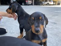 Doberman Pinscher Puppies for sale in Reseda, Los Angeles, CA, USA. price: NA