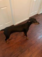 Doberman Pinscher Puppies for sale in Emmons Ave, Brooklyn, NY 11235, USA. price: NA