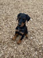 Doberman Pinscher Puppies for sale in Mill Creek, WA 98012, USA. price: NA